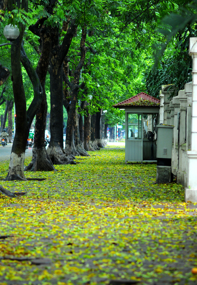 Poetic Hanoi with yellow-leaves-streets in the end of spring