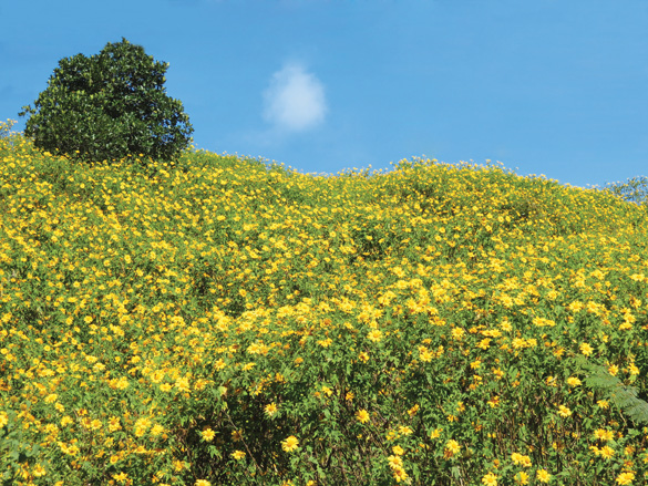 wild sunflower hills