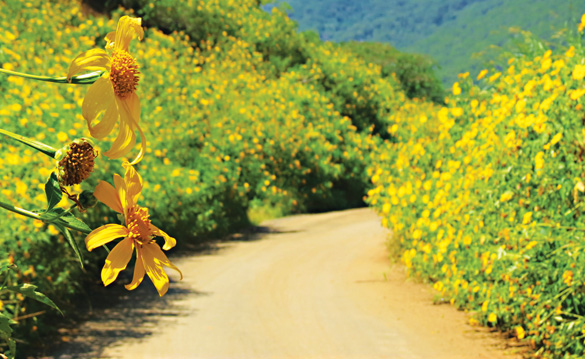 wild sunflower road