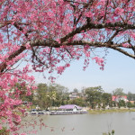 Mai Anh Dao – the spring's flower symbol of Da Lat city
